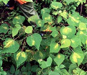 葉一面に小さな穴が開く現象 アカメガシワ