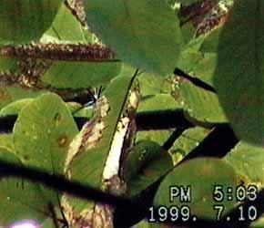 葉が傷み大量に落葉する現象  処分場西側 樹高15mくらいのホオノキ