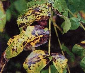 葉が極端に変色した現象ヤマウルシ
