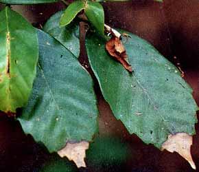 葉の先端が枯れる現象アカラシ
